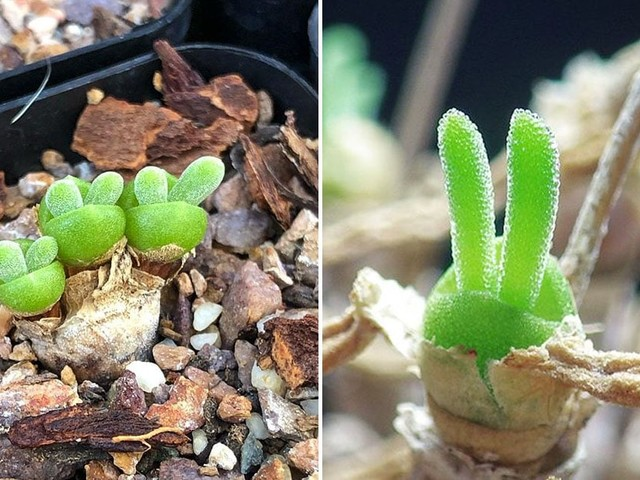 These Succulents Are Shaped Like Bunny Ears, and They're So Freakin' Cute