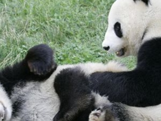 New deal could see giant panda sanctuary