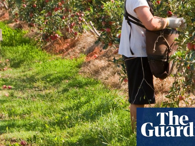 Young Australians could be given jobseeker payments as incentive to pick fruit