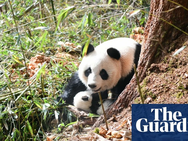 Too much of a good home is bad for panda mating, say scientists