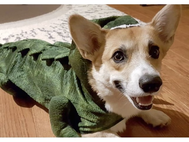 If You've Never Seen a Corgisaurus Before, You're in For a Halloween Treat