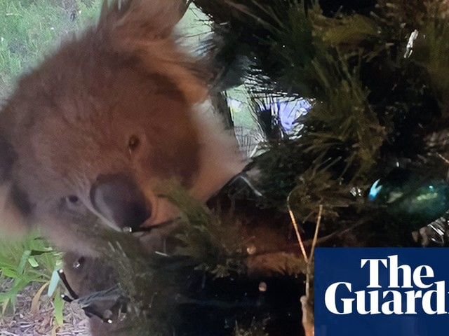 Confused koala ends up in Australian family's Christmas tree – video