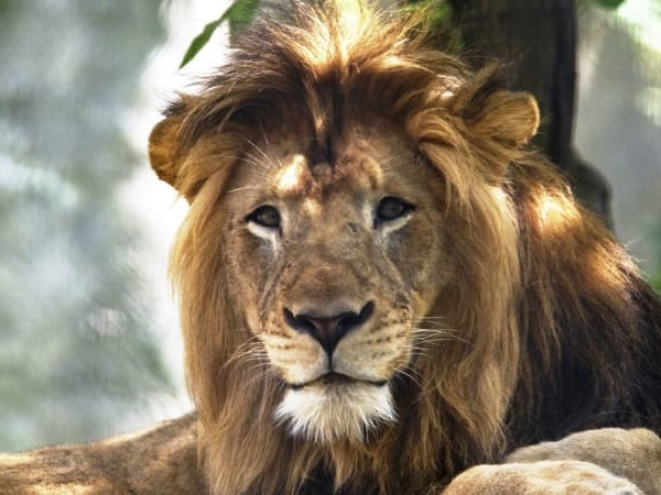 Lioness at zoo kills father of her cubs in 'unprovoked' attack
