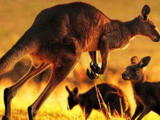Victorian kangaroo meat heading to supermarket shelves under expanded harvest