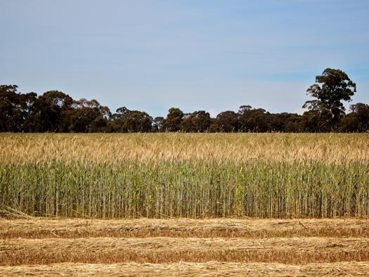 Worker shortage threatens WA harvest, farmers say