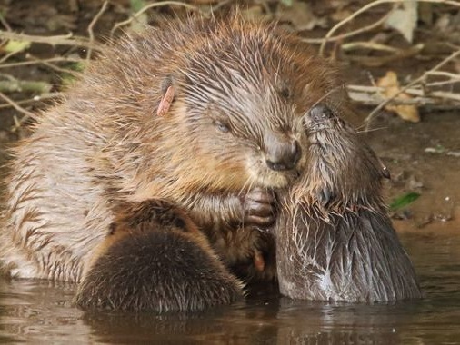England's first wild beavers in 400 years allowed to stay in river