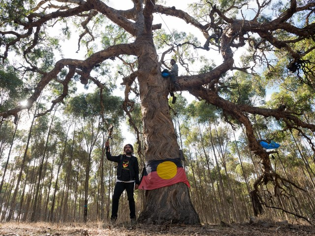 The struggle to save the birthing trees
