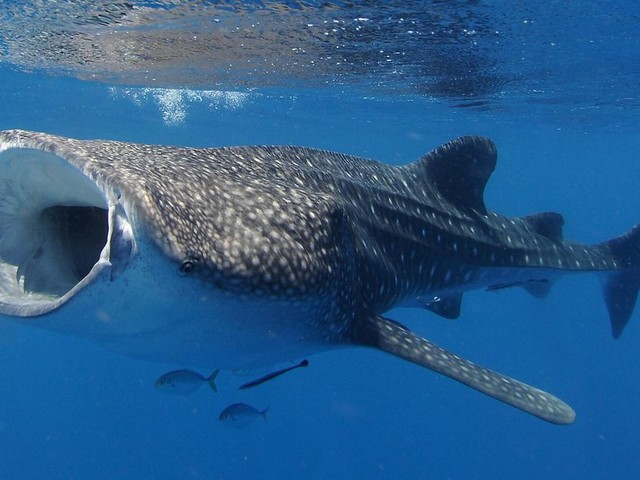Female whale sharks are officially the biggest fish in the sea - CNET