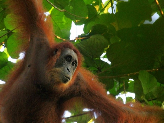 Rescuing Orangutans and Saving Rainforests AUG 18