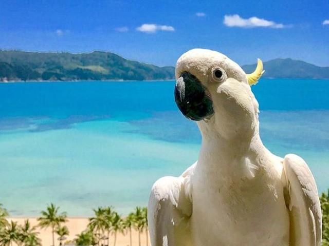 More cockatoos, wallabies and possums culled at Hamilton Island Resort