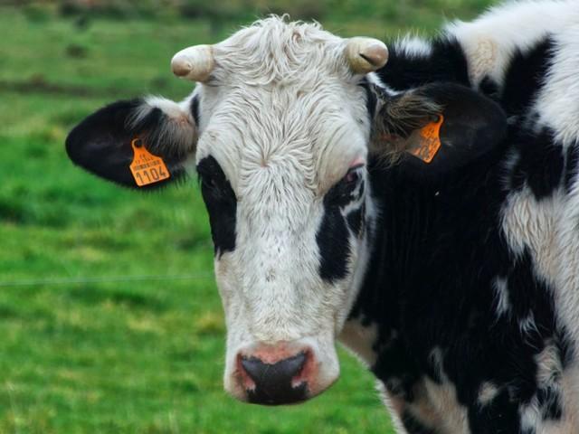 Le Royaume-Uni, premier pays européen à interdire l'exportation d'animaux vivants