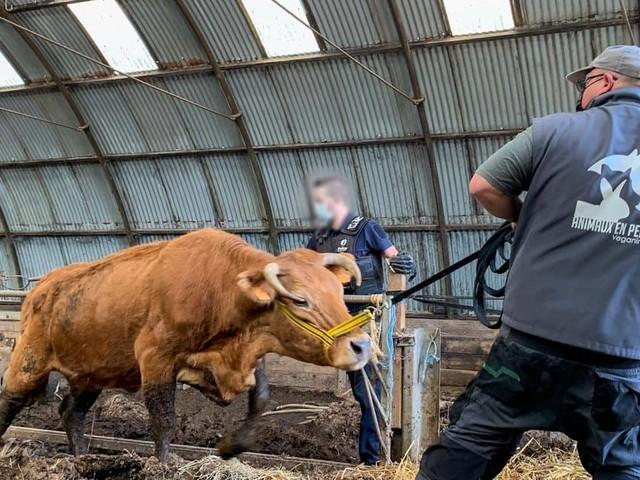 Deux bovins maltraités découverts à Frasnes-lez-Anvaing !
