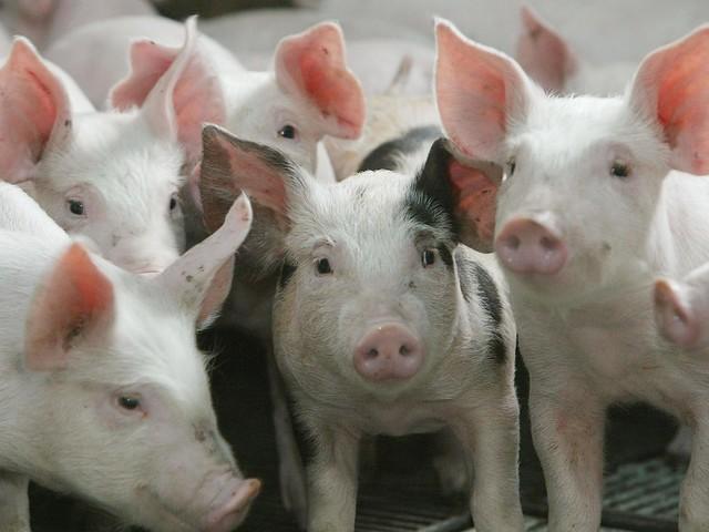 Chine : un cochon attaché pour un saut à l'élastique dans un parc d'attractions