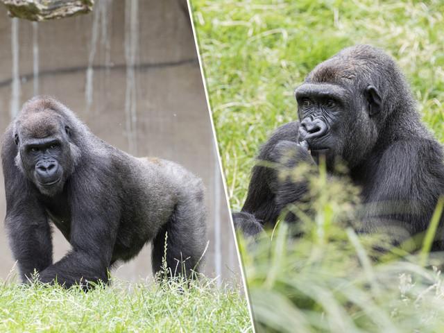 Deux gorilles du zoo de Beauval bientôt remises en liberté au Gabon