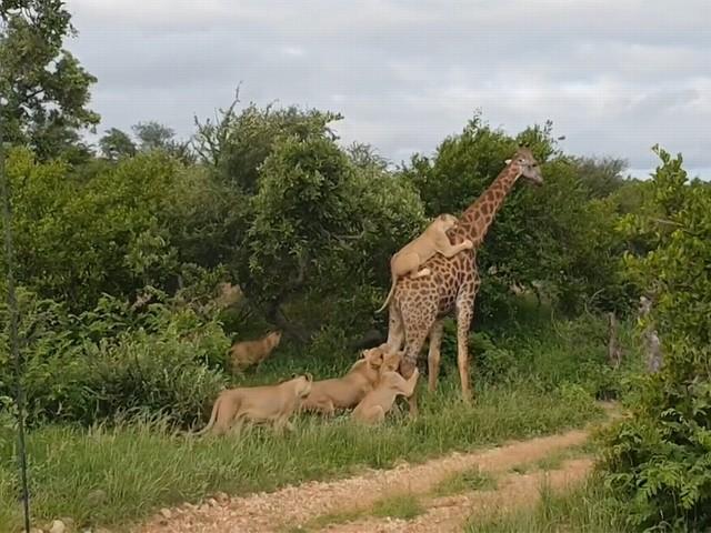 VIDEO.Toeristen kijken verbaasd toe: agressieve leeuwen proberen oersterke giraf tegen de vlakte te krijgen maar dat is buiten de giraf gerekend