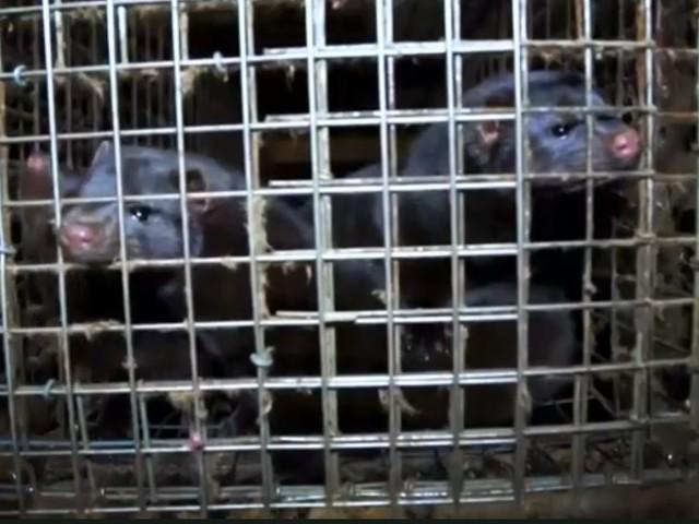 Haute-Saône : un élevage de visons vandalisé, 70 bêtes dans la nature