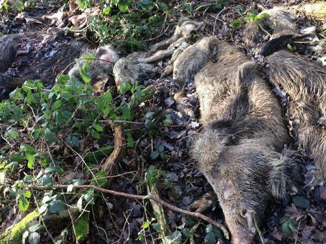 Terrible acte de barbarie à Ciney: alors qu'il se promène tranquillement en forêt, Pierre découvre au moins 5 cadavres de sangliers dans les bois!