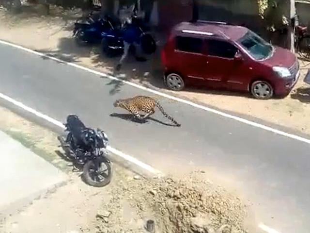 Paniek bij inwoners wanneer luipaard stad zeven uur lang op stelten zet