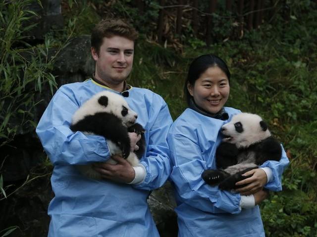 Bao Di en Bao Mei: pandatweeling in Pairi Daiza heeft nu een echte naam. Waarom krijgen ze die pas na 100 dagen?