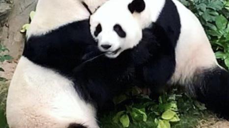Hong Kong : le zoo fermé, deux pandas s'accouplent pour la première fois