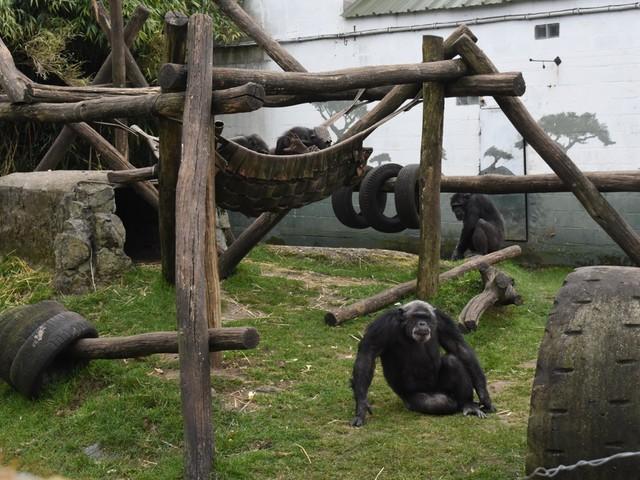 Pakawi Park wil chimpansees met Monkey Island nieuwe thuis geven