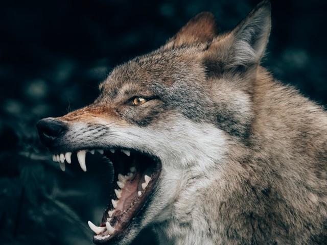 Une famille attaquée par un loup au Canada