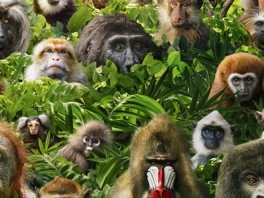 « Primates : la force du clan » : documentaire inédit ce soir sur France 2