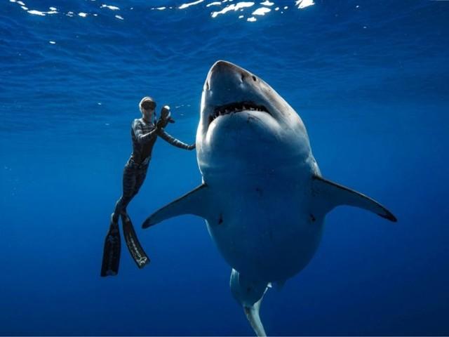 Levensgevaarlijk: duikers zien grootste witte haai ter wereld en benaderen hem om foto's te maken