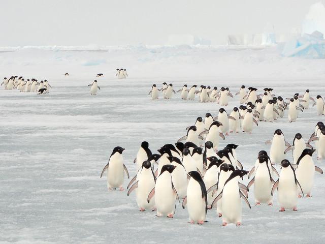 Het extreme seksleven van de pinguïn: te shockerend, dus in het Grieks genoteerd