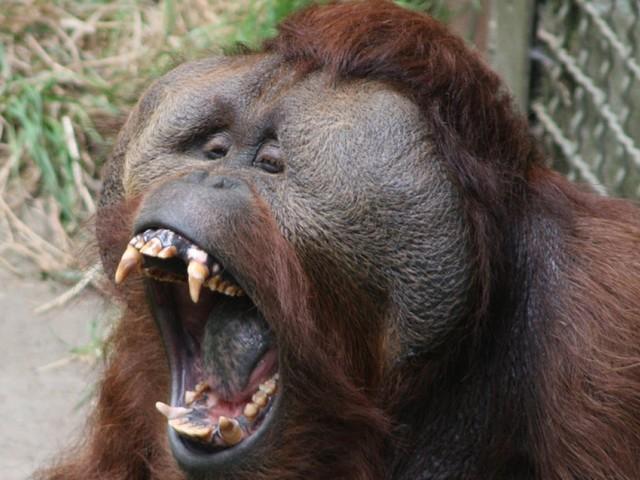 Il est arrêté à l'aéroport avec un orang-outan dans sa valise