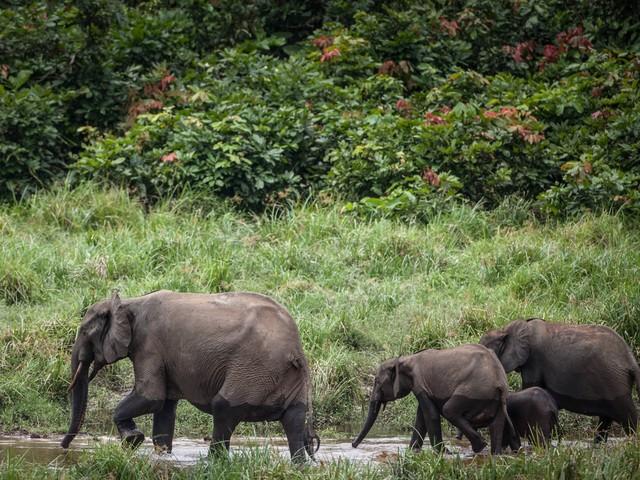 Afrique du Sud : soupçonné d'être un braconnier, une homme est écrasé par des éléphants