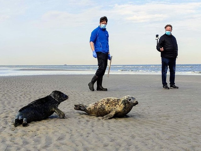 Blankenberge: deux phoques relâchés dans la Mer du Nord après avoir été soignés (PHOTOS)