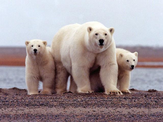 Noodtoestand op Nova Zembla na invasie van ijsberen
