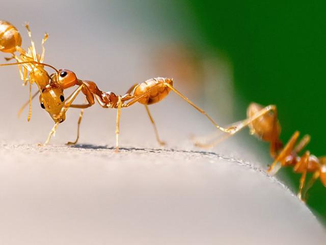 Le saviez-vous ? Les fourmis pratiquaient l'agriculture et l'élevage bien avant les humains
