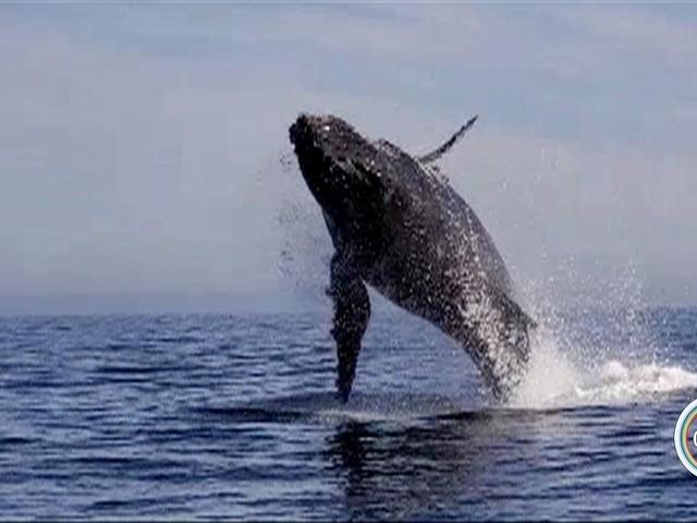 Internauta flagra saltos de baleia no mar em Ilhabela; assista