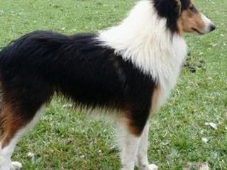 10 Raças de cães que foram originadas no Brasil – Fotos