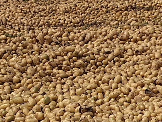 Produtores descartam 400 toneladas de batatas em MG