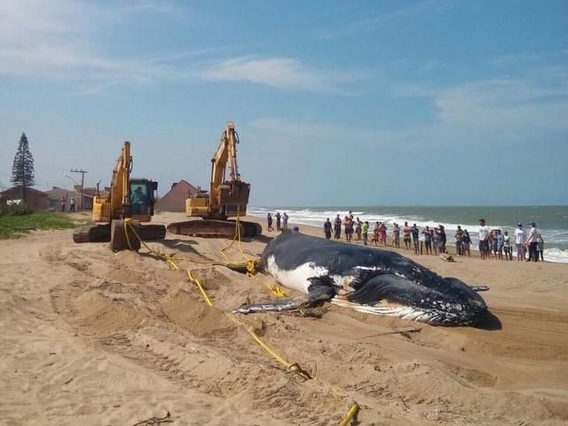 Ossos de baleia que encalhou em Barra Velha vão ser levados para museu