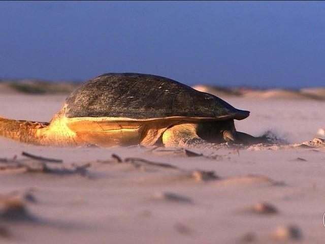 Tamar atinge a marca de 40 milhões de filhotes de tartarugas soltos ao mar