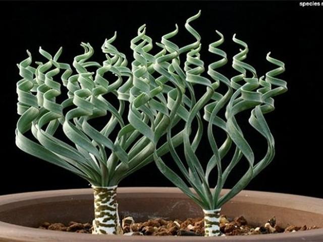 Natureza maravilhosa: Trachyandra sp