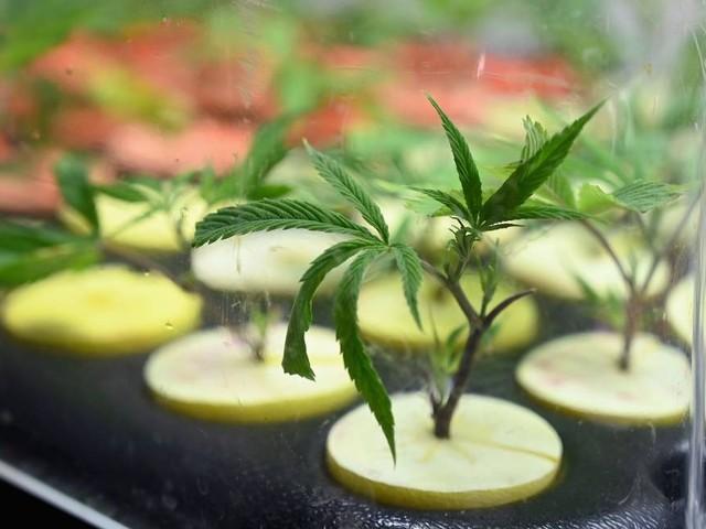 Conselho Federal de Medicina pede que governo proíba liberação de cultivo de maconha medicinal