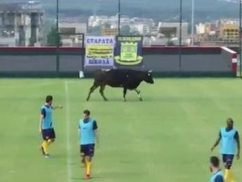 Vaca invade gramado e paralisa jogo-treino na Bulgária
