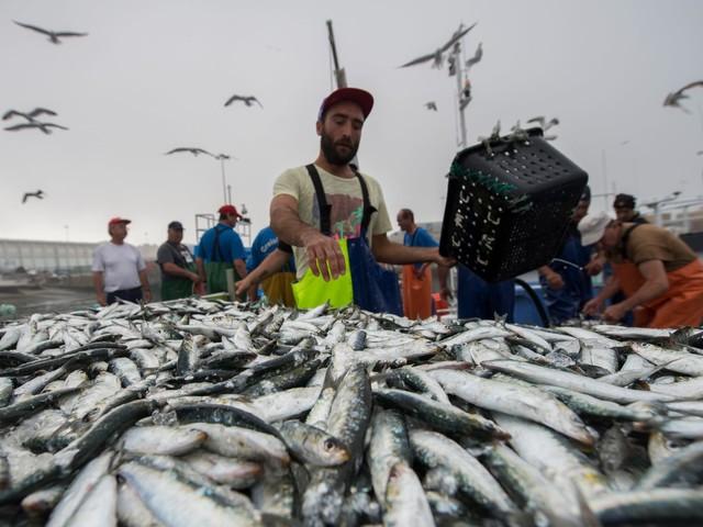 Pesca da sardinha deve ficar suspensa em 2018 - parecer científico