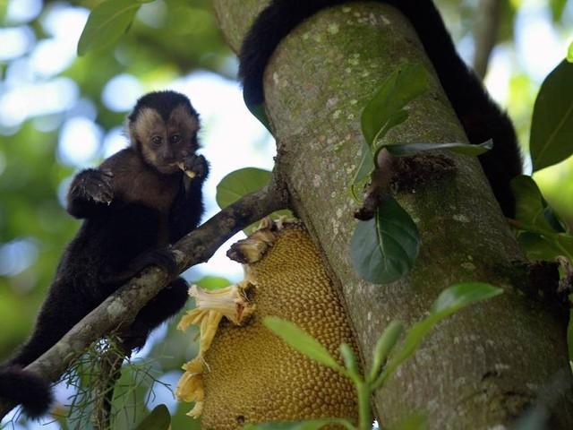 'Idade da Pedra dos macacos': pesquisadores descobrem ferramentas usadas por macacos-prego há 3 mil anos, no Piauí