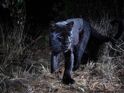 """""""Pantera negra"""" é fotografada pela 1ª vez depois de 100 anos"""