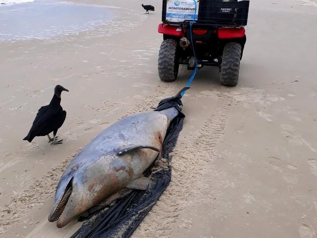 Golfinho é encontrado morto na Praia do Campeche, em Florianópolis
