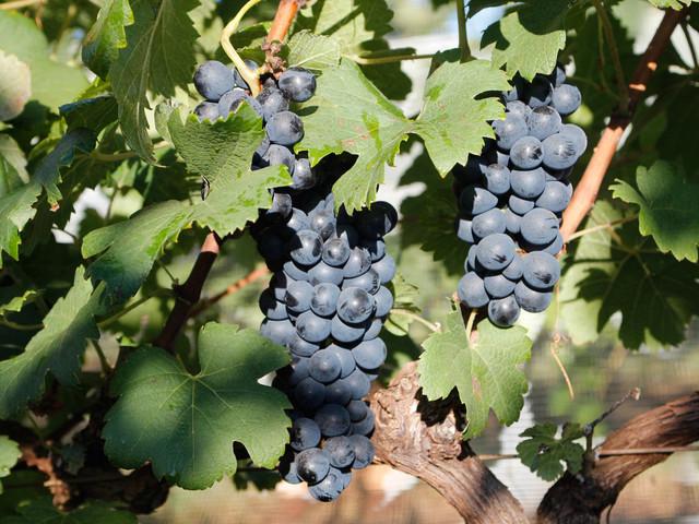 Produção de vinho em MG ganha notoriedade no Brasil e no exterior