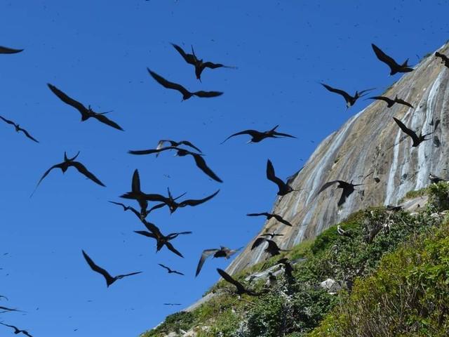 Ilha em Cagarras, perto de Ipanema, registra recorde de fragatas