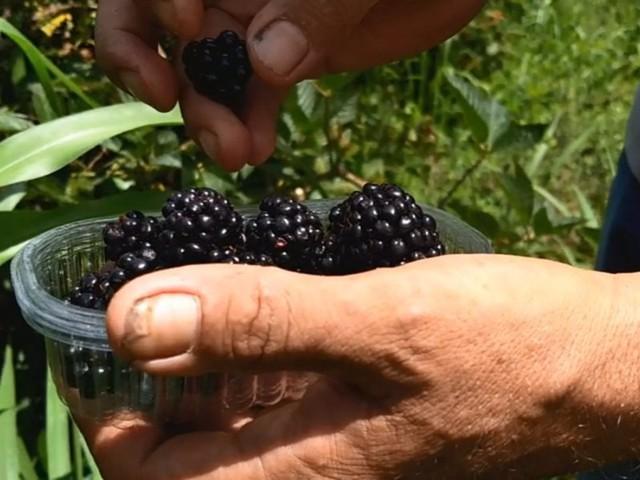 Produtor de amoras orgânicas cria sistema para acompanhar as necessidades de cada planta