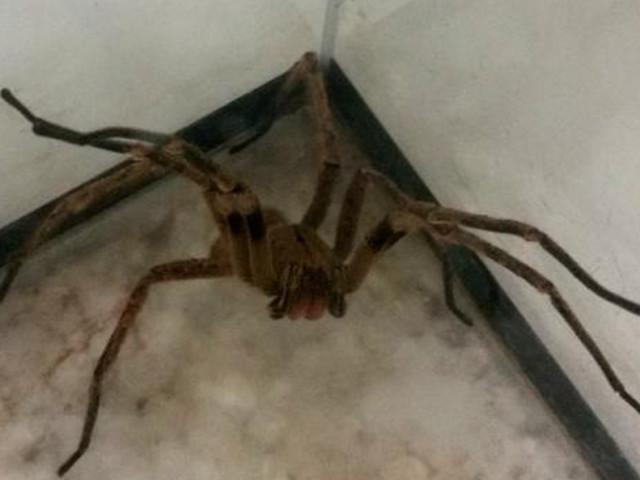 Pesquisa com veneno de aranha pode gerar remédio para disfunção erétil